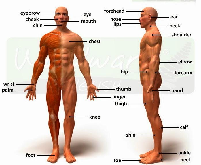 عضلات البطن بالانجليزي